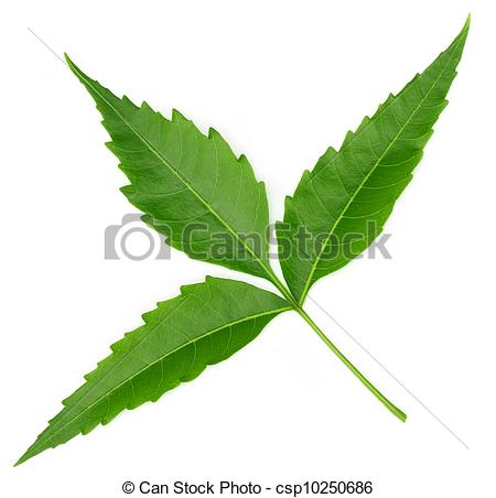 Neem Leaf Clipart.