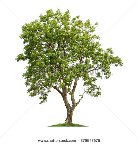 Neem tree clipart 2 » Clipart Station.