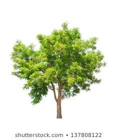 Neem tree clipart 4 » Clipart Portal.