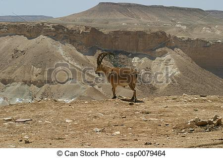 Stock Photo of Ibex Negev Desert Israel.