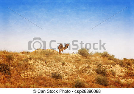 Pictures of Arabian Camel graze at the Israeli Negev Desert.