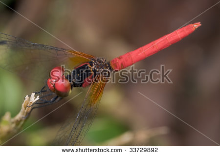 Pygmy Dragonfly Stock Photos, Images, & Pictures.
