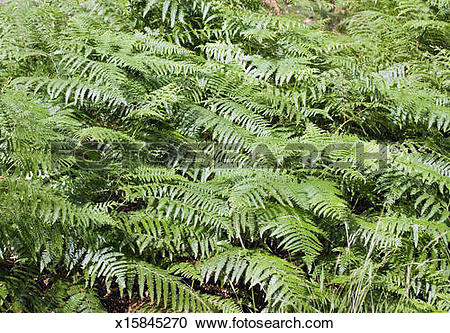 Stock Photography of Forest ferns in the Black Forest, Baden Baden.