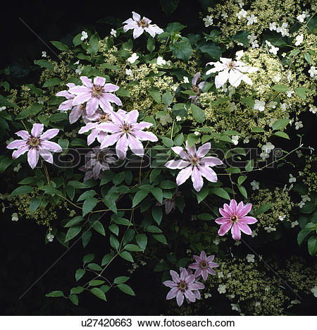 Stock Photo of clematis nelly moser, climber, pastel, pink, plants.