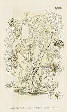 bloomsandfoliage: Belladonna lily (Amaryllis.