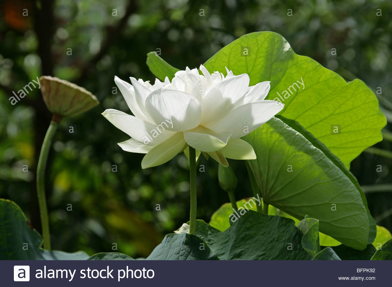 Indian Lotus, Sacred Lotus, Bean Of India Or Sacred Waterlily.