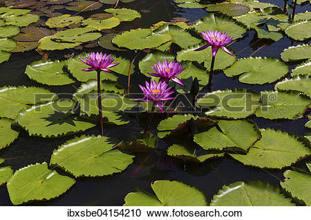 Stock Photography of Lotus flowers (Nelumbo sp.), Thailand, Asia.