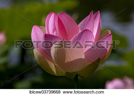 "Pictures of ""Flower of an Indian Lotus or Sacred Lotus (Nelumbo."