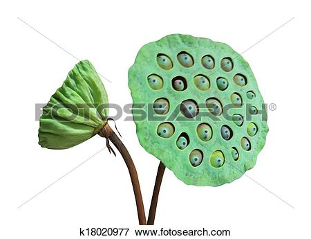Picture of Green Nelumbo k18020977.