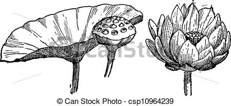 Nelumbo Vector Clip Art Royalty Free. 44 Nelumbo clipart vector.