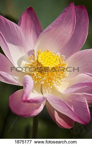 Picture of a pink lotus flower (nelumbo nucifera) 1875177.