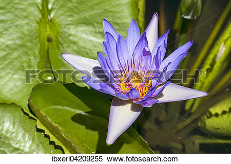 Stock Image of Lotus flower (Nelumbo), Mauritius, Africa.