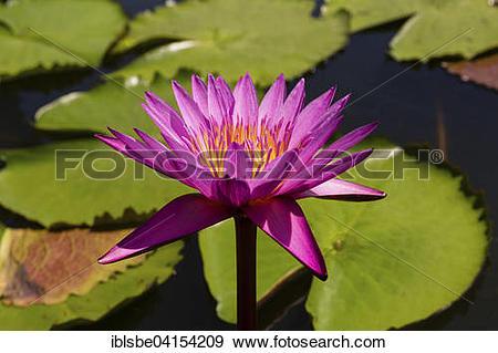 Stock Photograph of Lotus flower (Nelumbo), Thailand, Asia.