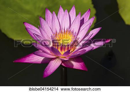 Stock Photo of Lotus flower (Nelumbo), Thailand, Asia.