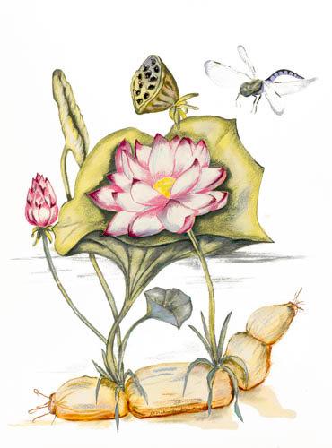 LIMITED EDITION (10) Lotus Plant (all parts), Lotus, Nelumbo.