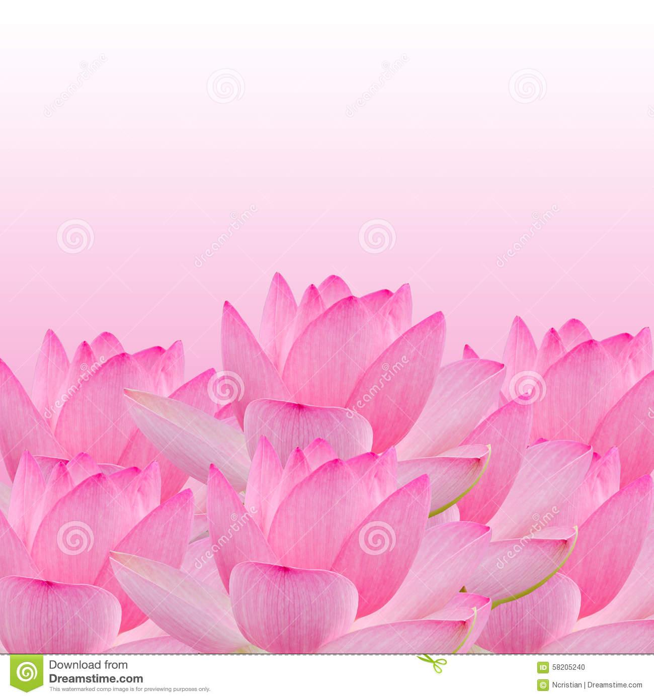Pink Nuphar Flower, Water.