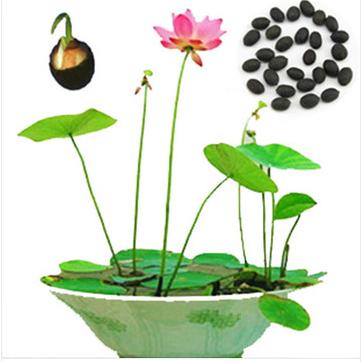 Popular Nelumbo Nucifera Seeds.