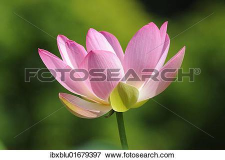 "Picture of ""Indian Lotus, Sacred Lotus, Bean of India (Nelumbo."