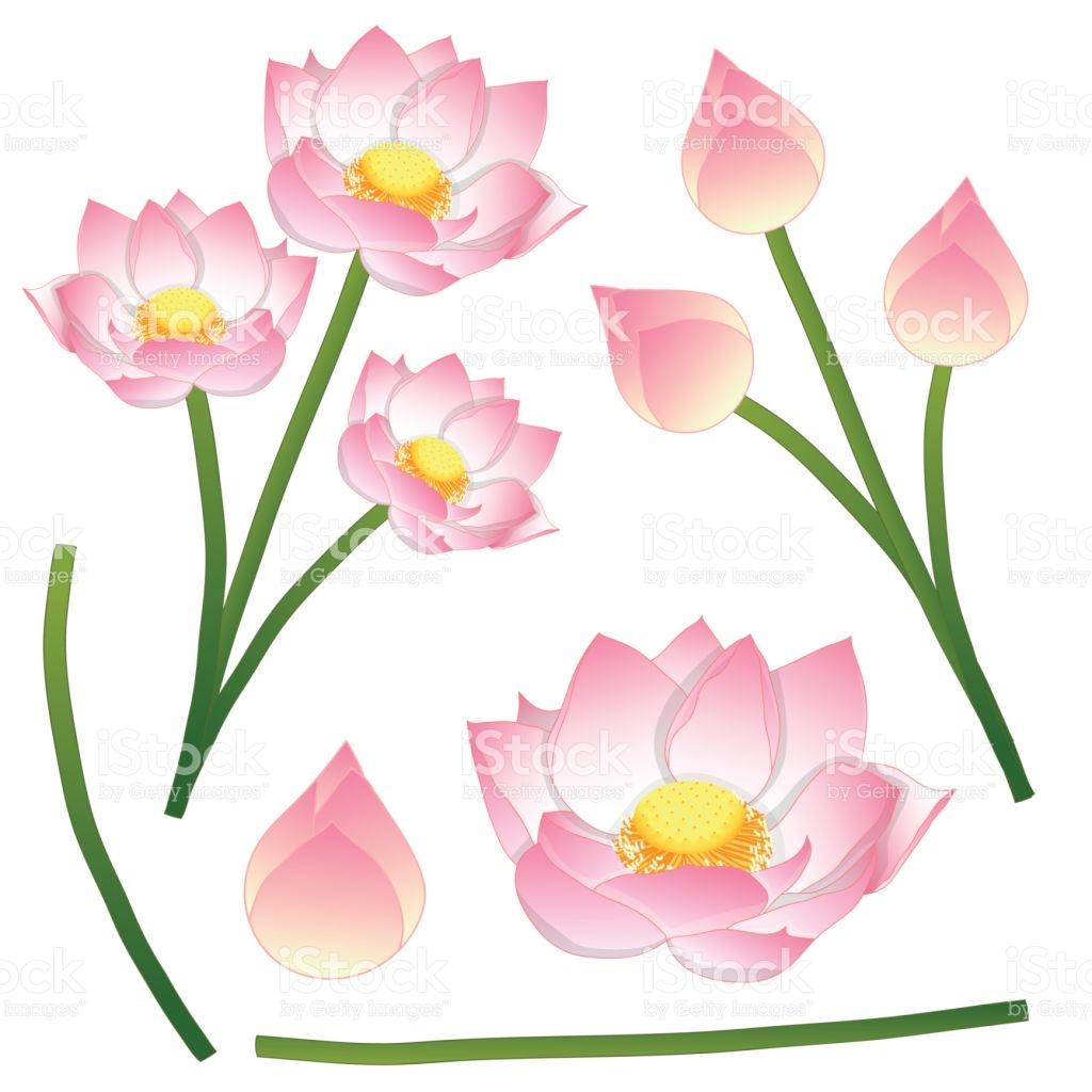 Nelumbo Nucifera Indian Lotus Sacred Lotus Bean Of India Egyptian.