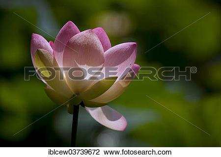 "Stock Photo of ""Flower of an Indian Lotus or Sacred Lotus (Nelumbo."