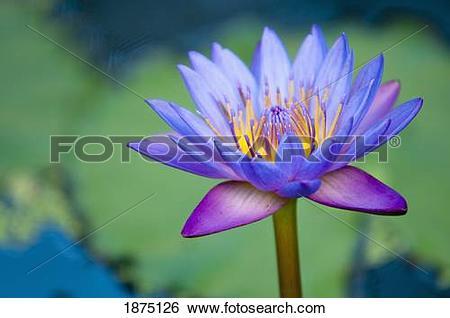 Stock Images of a lotus flower (nelumbo nucifera) 1875126.