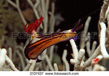 Picture of Colourful sea slug (Nembrotha megalocera) on coral.