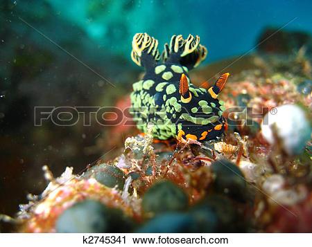 Stock Photography of Nudibranch (Nembrotha kubaryana) This.