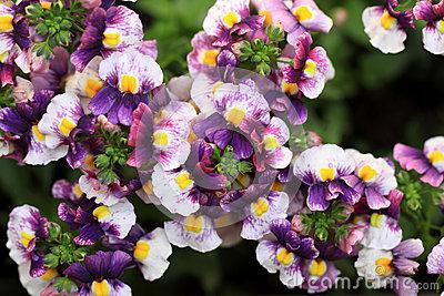 Nemesia Strumosa, Sunsatia Flower In Summer Royalty Free Stock.