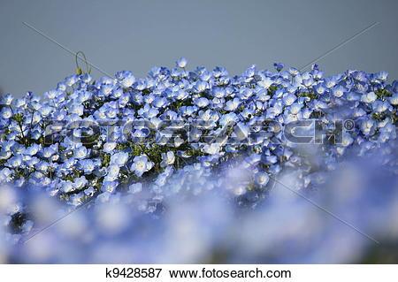 Picture of Nemophila flower field. k9428587.