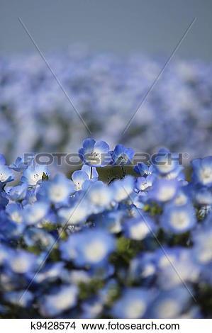 Stock Photo of Nemophila flower field k9428574.