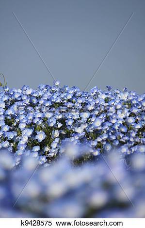 Stock Image of Nemophila flower field k9428575.