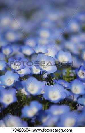 Stock Photo of Nemophila flower field k9428564.