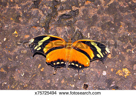 Stock Photo of Tiger Leafwing on wall.Consul fabius.Neotropics.