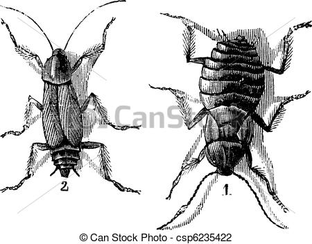 Vector Illustration of Male and Female, Cockroaches, (left) male.