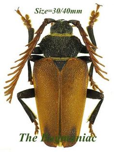 Cerambycidae : Epipedocera undulata.