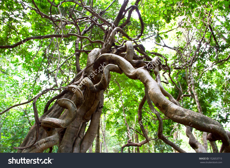 Monkey Ladder Lianas Bauhinia Sp Tropical Stock Photo 152653715.