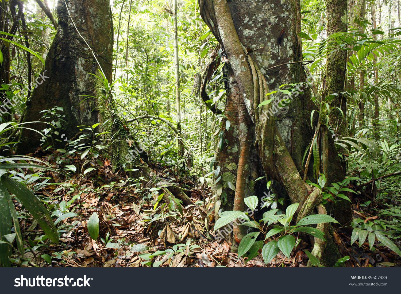 Large Trees Interior Tropical Rainforest Peru Stock Photo 89507989.