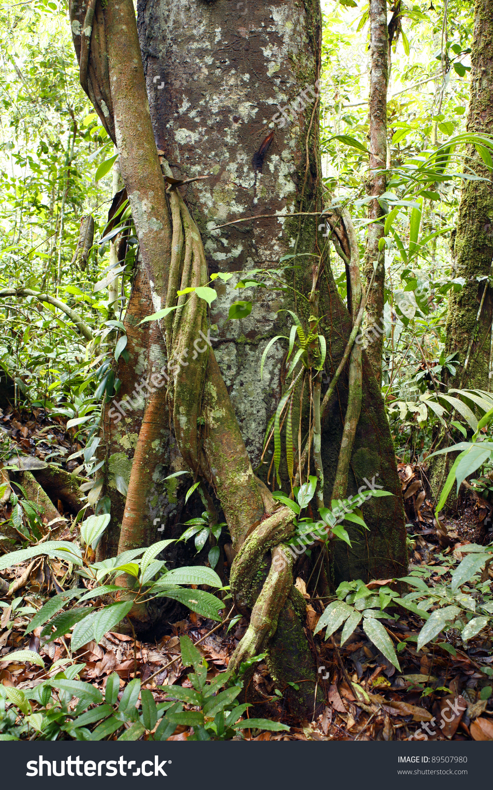 Large Tree In The Interior Of Tropical Rainforest In Peru With A.
