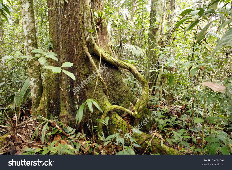 Amazonian Tree With Liana Stock Photo 6030001 : Shutterstock.