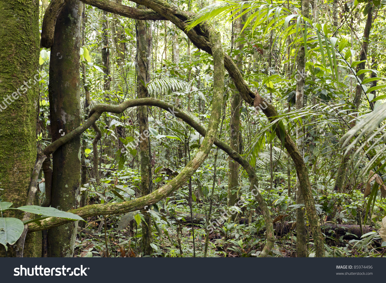Interior Of Tropical Rainforest In Ecuador With Knotted Liana.