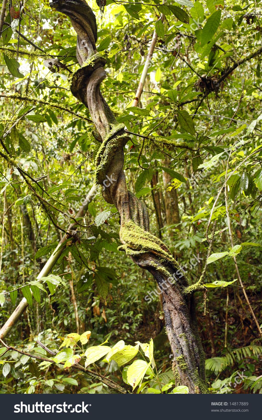 Liana In Tropical Rainforest, Ecuador Stock Photo 14817889.