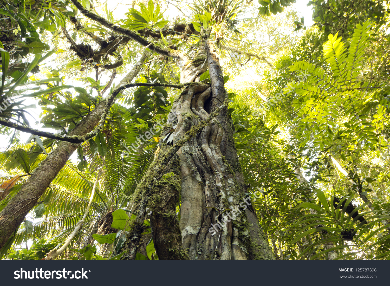 Looking Up A Liana Tangled Tree Trunk To The Rainforest Canopy In.