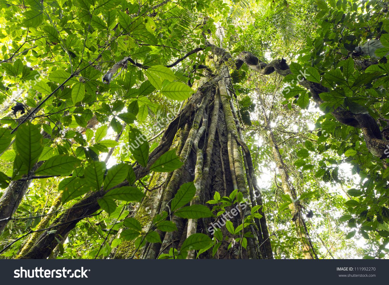 Lianas Dangling Rainforest Canopy Yasuni National Stock Photo.