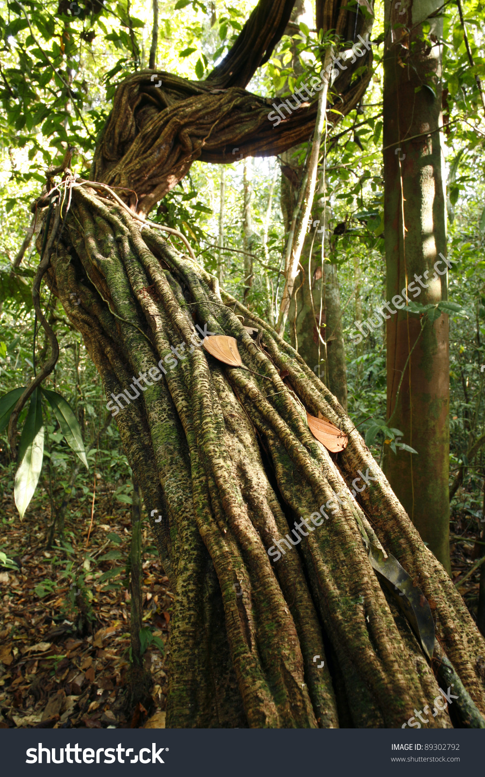 Liana Growing In Tropical Rainforest In The Peruvian Amazon Stock.