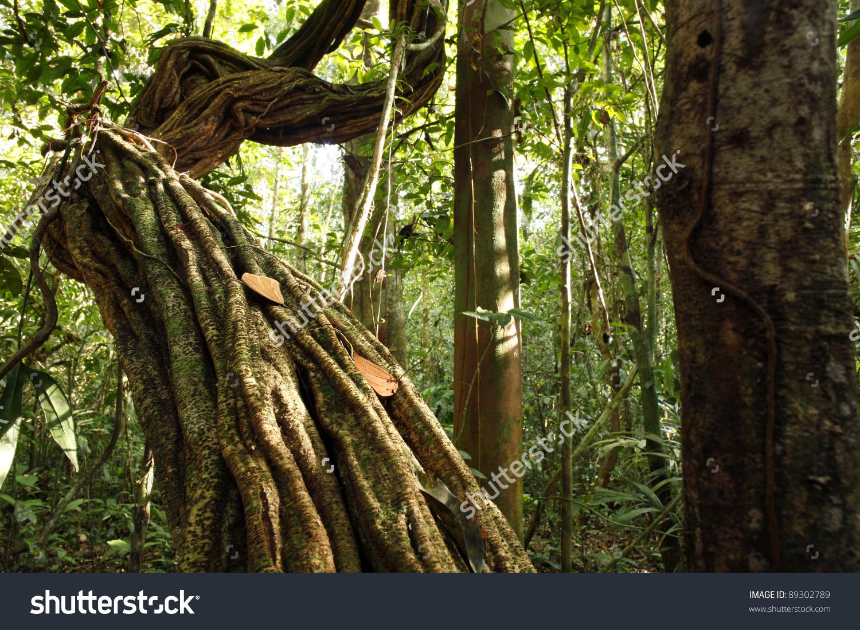 Liana Growing Tropical Rainforest Peruvian Amazon Stock Photo.