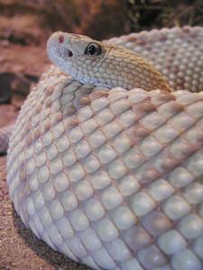 Rattlesnake Photo Clipart Image.