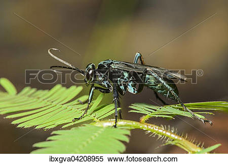 Stock Image of Neotropical potter wasp (Vespidae), Amazon.