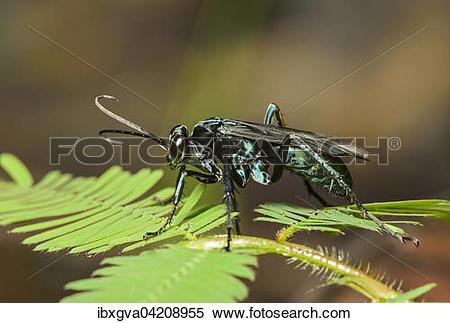 Stock Image of Neotropical potter wasp (Vespidae), Amazon.
