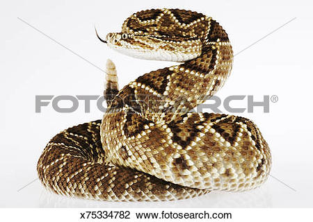 Stock Photo of Striking Neotropical rattlesnake. x75334782.