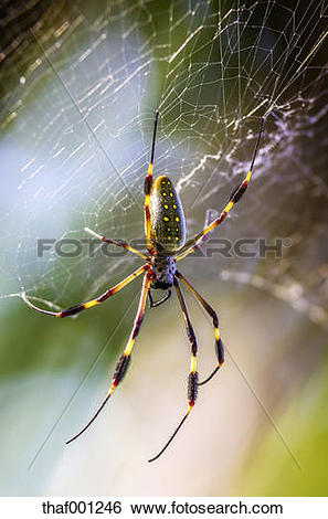 """Stock Images of """"Costa Rica, Golden orb."""